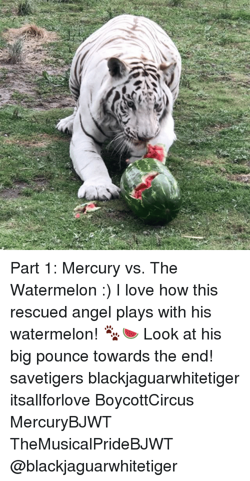 Love, Memes, and Angel: Part 1: Mercury vs. The Watermelon :) I love how this rescued angel plays with his watermelon! 🐾🍉 Look at his big pounce towards the end! savetigers blackjaguarwhitetiger itsallforlove BoycottCircus MercuryBJWT TheMusicalPrideBJWT @blackjaguarwhitetiger