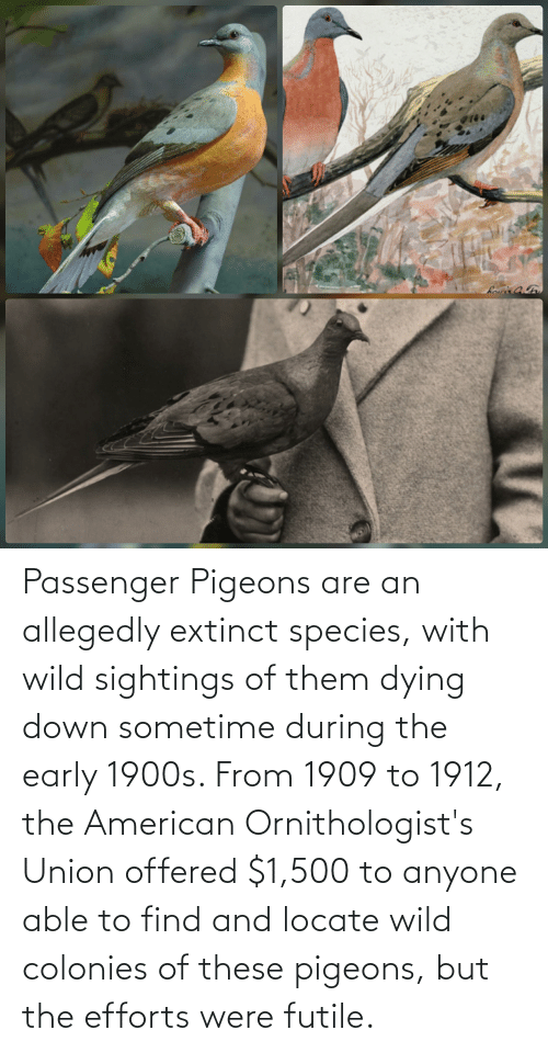 Allegedly: Passenger Pigeons are an allegedly extinct species, with wild sightings of them dying down sometime during the early 1900s. From 1909 to 1912, the American Ornithologist's Union offered $1,500 to anyone able to find and locate wild colonies of these pigeons, but the efforts were futile.