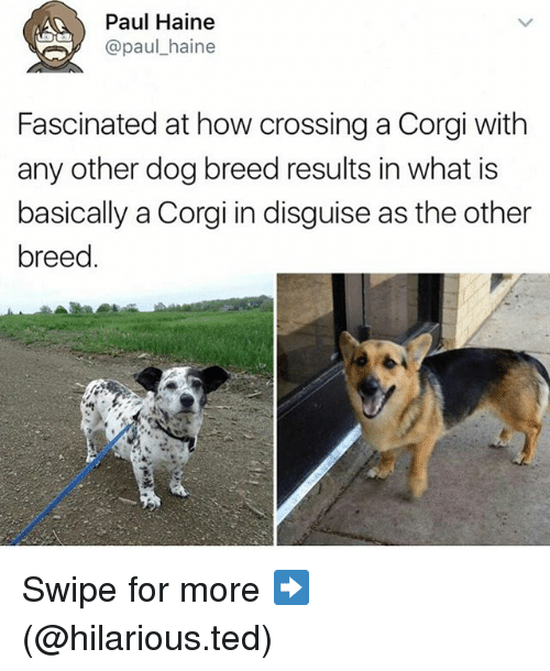 Corgi, Funny, and Ted: Paul Haine  @paul haine  Fascinated at how crossing a Corgi with  any other dog breed results in what is  basically a Corgi in disguise as the other  breed Swipe for more ➡ (@hilarious.ted)