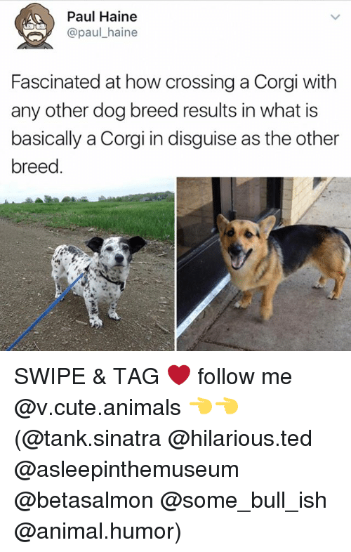 Animals, Corgi, and Cute: Paul Haine  @paul haine  Fascinated at how crossing a Corgi with  any other dog breed results in what is  basically a Corgi in disguise as the other  breed SWIPE & TAG ❤️ follow me @v.cute.animals 👈👈 (@tank.sinatra @hilarious.ted @asleepinthemuseum @betasalmon @some_bull_ish @animal.humor)