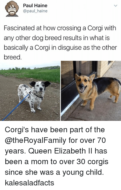 Corgi, Memes, and Queen Elizabeth: Paul Haine  @paul haine  Fascinated at how crossing a Corgi with  any other dog breed results in what is  basically a Corgi in disguise as the other  breed Corgi's have been part of the @theRoyalFamily for over 70 years. Queen Elizabeth II has been a mom to over 30 corgis since she was a young child. kalesaladfacts