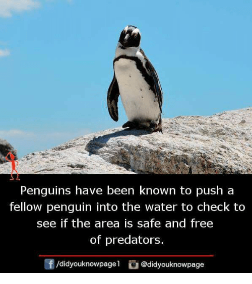Memes, Free, and Penguin: Penguins have been known to push a  fellow penguin into the water to check to  see if the area is safe and free  of predators.  didyouknowpagel  @didyouknowpage