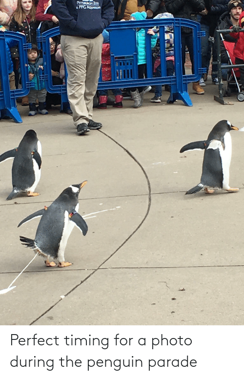 Penguin: Perfect timing for a photo during the penguin parade