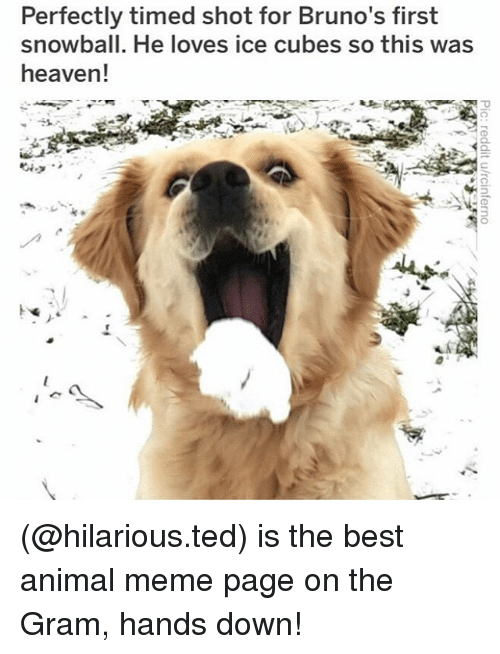 Heaven, Meme, and Memes: Perfectly timed shot for Bruno's first  snowball. He loves ice cubes so this was  heaven! (@hilarious.ted) is the best animal meme page on the Gram, hands down!