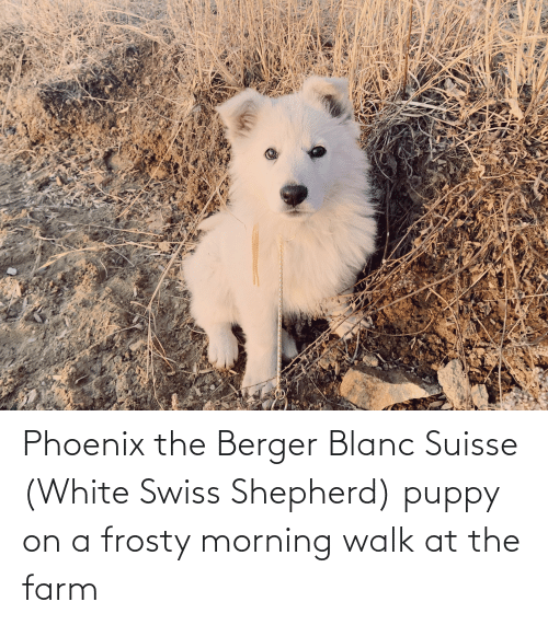 Swiss: Phoenix the Berger Blanc Suisse (White Swiss Shepherd) puppy on a frosty morning walk at the farm