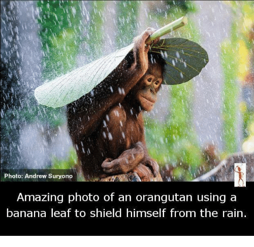 ˜†: Photo: Andrew Suryono  Amazing photo of an orangutan using a  banana leaf to shield himself from the rain.