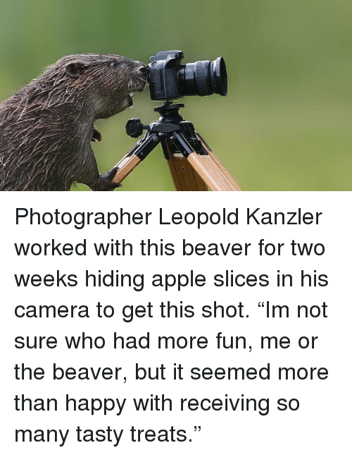 """beaver: Photographer Leopold Kanzler worked with this beaver for two weeks hiding apple slices in his camera to get this shot. """"Im not sure who had more fun, me or the beaver, but it seemed more than happy with receiving so many tasty treats."""""""