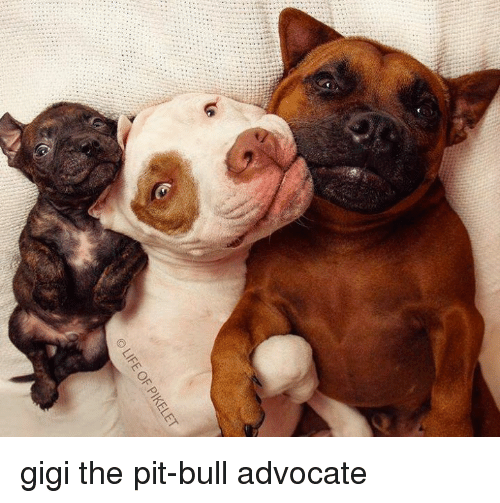 Image result for the pit bull life