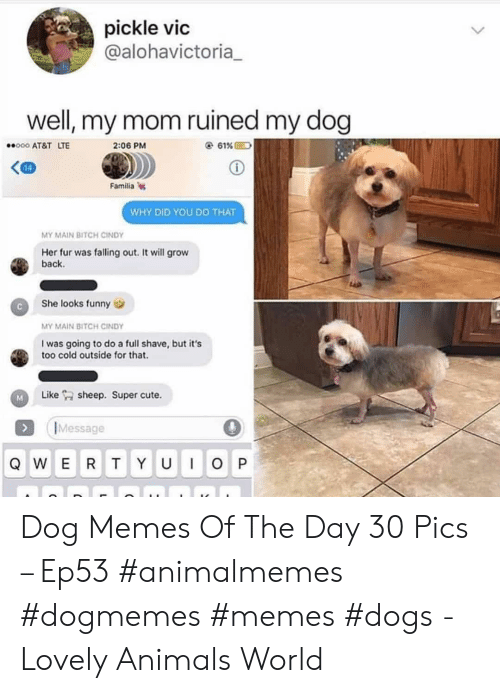 Memes Dogs: pickle vic  @alohavictoria  well, my mom ruined my dog  e 61%  o00 AT&T LTE  2:06 PM  14  Familia  WHY DID YOU DO THAT  MY MAIN BITCH CINDY  Her fur was falling out. It will grow  back  She looks funny  MY MAIN BITCH CINDY  I was going to do a full shave, but it's  too cold outside for that.  sheep. Super cute  Like  IMessage  QWER TY  IOP  U Dog Memes Of The Day 30 Pics – Ep53 #animalmemes #dogmemes #memes #dogs - Lovely Animals World