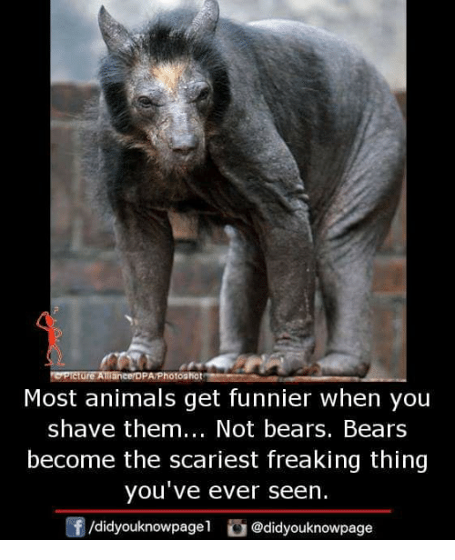 Animals, Memes, and Bears: Picture Allanee DPA/Photoshot  Most animals get funnier when you  shave them... Not bears. Bears  become the scariest freaking thing  you've ever seen.  f/didyouknowpagel @didyouknowpage