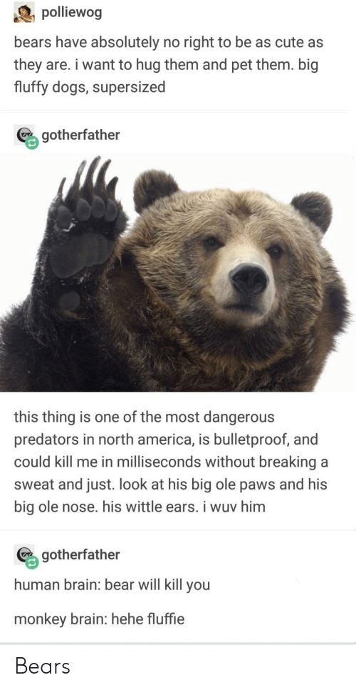north america: piewog  bears have absolutely no right to be as cute as  they are. i want to hug them and pet them. big  fluffy dogs, supersized  % gotherfather  this thing is one of the most dangerous  predators in north america, is bulletproof, and  could kill me in milliseconds without breaking a  sweat and just. look at his big ole paws and his  big ole nose. his wittle ears. i wuv him  gotherfather  human brain: bear will kill you  monkey brain: hehe fluffie Bears