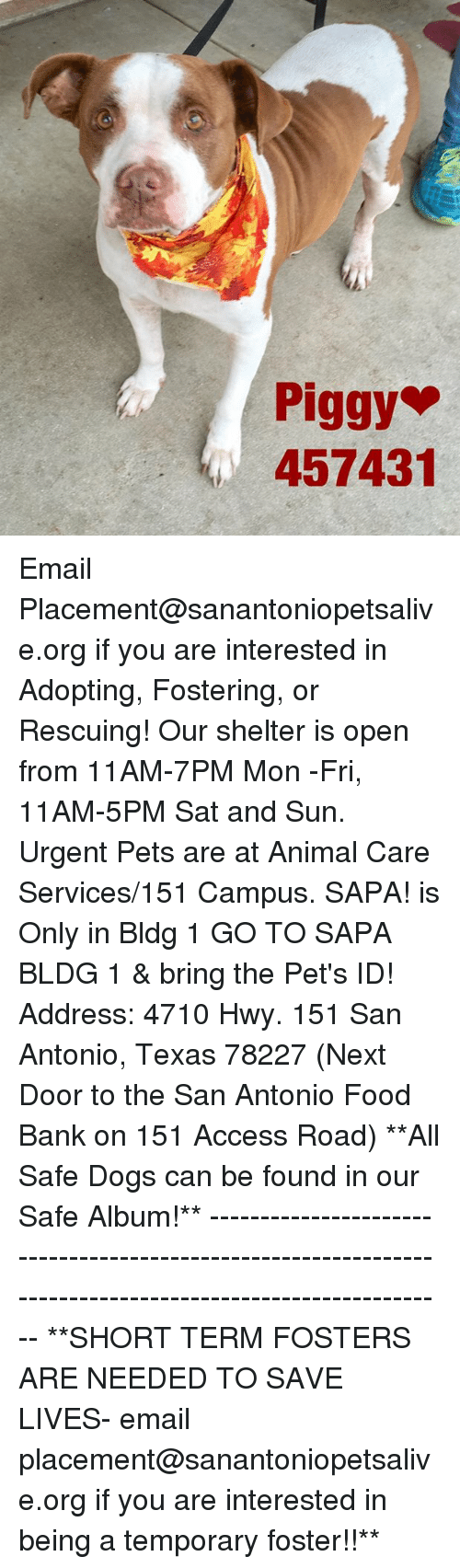 Dogs, Food, and Memes: Piggy  457431 Email Placement@sanantoniopetsalive.org if you are interested in Adopting, Fostering, or Rescuing!  Our shelter is open from 11AM-7PM Mon -Fri, 11AM-5PM Sat and Sun.  Urgent Pets are at Animal Care Services/151 Campus. SAPA! is Only in Bldg 1 GO TO SAPA BLDG 1 & bring the Pet's ID! Address: 4710 Hwy. 151 San Antonio, Texas 78227 (Next Door to the San Antonio Food Bank on 151 Access Road)  **All Safe Dogs can be found in our Safe Album!** ---------------------------------------------------------------------------------------------------------- **SHORT TERM FOSTERS ARE NEEDED TO SAVE LIVES- email placement@sanantoniopetsalive.org if you are interested in being a temporary foster!!**