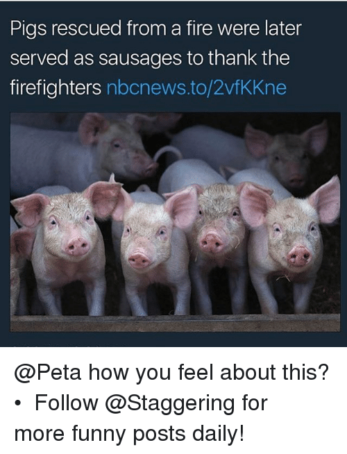 Fire, Funny, and Peta: Pigs rescued from a fire were later  served as sausages to thank the  firefighters nbcnews.to/2vfKKne @Peta how you feel about this? • ➫➫➫ Follow @Staggering for more funny posts daily!