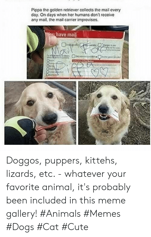 retriever: Pippa the golden retriever collects the mail every  day. On days when her humans don't receive  any mail, the mail carrier improvises.  have mai Doggos, puppers, kittehs, lizards, etc. - whatever your favorite animal, it's probably been included in this meme gallery! #Animals #Memes #Dogs #Cat #Cute