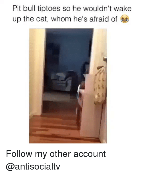 Memes, 🤖, and Cat: Pit bull tiptoes so he wouldn't wake  up the cat, whom he's afraid of Follow my other account @antisocialtv