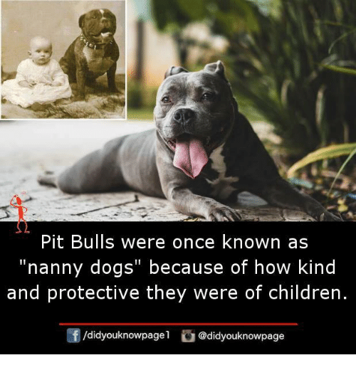 "Children, Dogs, and Memes: Pit Bulls were once known as  ""nanny dogs"" because of how kind  and protective they were of children.  /didyouknowpagel  @didyouknowpage"