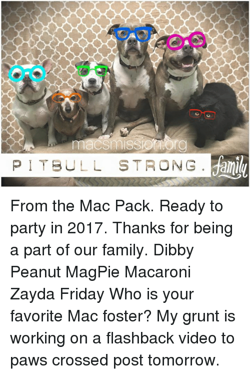 Memes, Pitbull, and Cross: PITBULL STRONG From the Mac Pack. Ready to party in 2017. Thanks for being a part of our family.   Dibby Peanut MagPie Macaroni Zayda Friday   Who is your favorite Mac foster? My grunt is working on a flashback video to paws crossed post tomorrow.