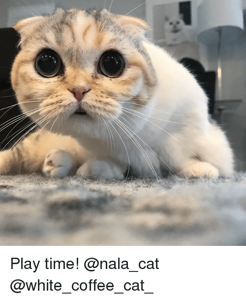 Cats, Memes, and Coffee: Play time! @nala_cat @white_coffee_cat_