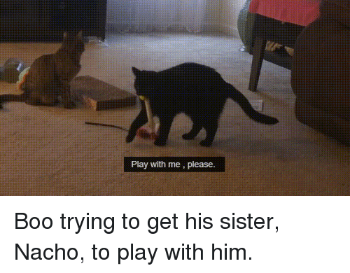 nacho: Play with me, please. Boo trying to get his sister, Nacho, to play with him.