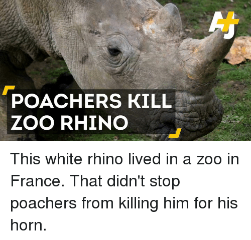 Memes, 🤖, and Zoo: POACHERS KILL  ZOO RHINO This white rhino lived in a zoo in France. That didn't stop poachers from killing him for his horn.