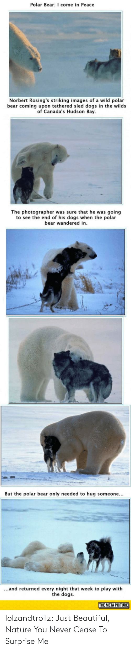 wilds: Polar Bear: I come in Peace  Norbert Rosing's striking images of a wild polar  bear coming upon tethered sled dogs in the wilds  of Canada's Hudson Bay  The photographer was sure that he was going  to see the end of his dogs when the polar  bear wandered in  But the polar bear only needed to hug someone...  ...and returned every night that week to play with  the dogs  THE META PICTURE lolzandtrollz:  Just Beautiful, Nature You Never Cease To Surprise Me