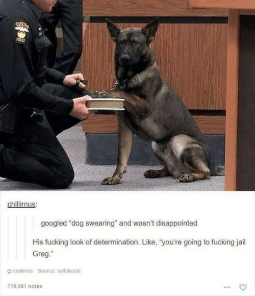 "Swearing: POLCE  chillimus:  googled ""dog swearing"" and wasn't disappointed  His fucking look of determination. Like, ""you're going to fucking jail  Greg.""  chillimus Source: seifukucat  719.081 notes"