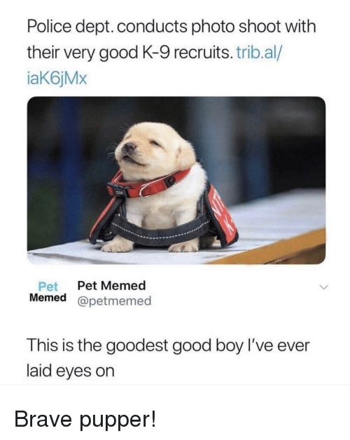 photo shoot: Police dept. conducts photo shoot with  their very good K-9 recruits. trib.al/  iaK6jMx  Pet Pet Memed  Memed @petmemed  est good boy l've ever  T his is the good  laid eyes on Brave pupper!