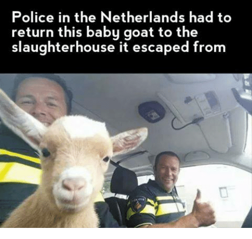 Baby, It's Cold Outside, Police, and Goat: Police in the Netherlands had to  return this baby goat to the  slaughterhouse it escaped from