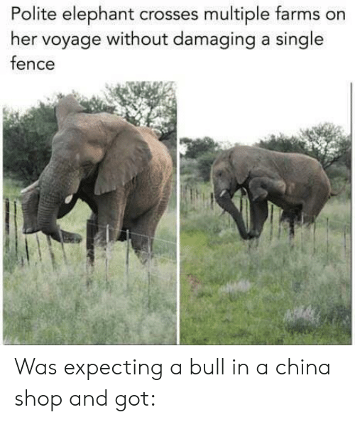 farms: Polite elephant crosses multiple farms on  her voyage without damaging a single  fence Was expecting a bull in a china shop and got: