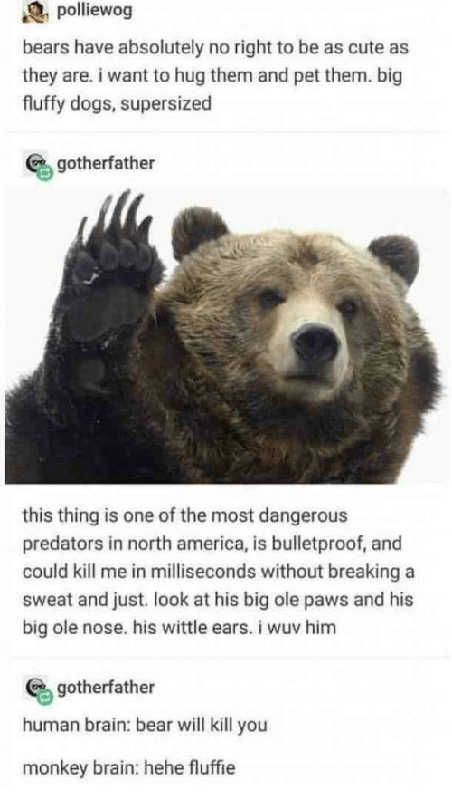 north america: polliewog  bears have absolutely no right to be as cute as  they are. i want to hug them and pet them. big  fluffy dogs, supersized  gotherfather  this thing is one of the most dangerous  predators in north america, is bulletproof, and  could kill me in milliseconds without breaking a  sweat and just. look at his big ole paws and his  big ole nose. his wittle ears. i wuv him  gotherfather  human brain: bear will kill you  monkey brain: hehe fluffie