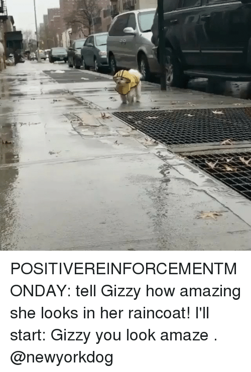 Memes, Amazing, and 🤖: POSITIVEREINFORCEMENTMONDAY: tell Gizzy how amazing she looks in her raincoat! I'll start: Gizzy you look amaze . @newyorkdog
