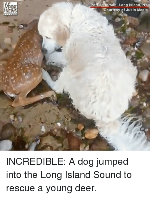 Deer, Memes, and Jumped: Pot Jefferson, Long Island, NY  Courtesy of Jukin Media INCREDIBLE: A dog jumped into the Long Island Sound to rescue a young deer.