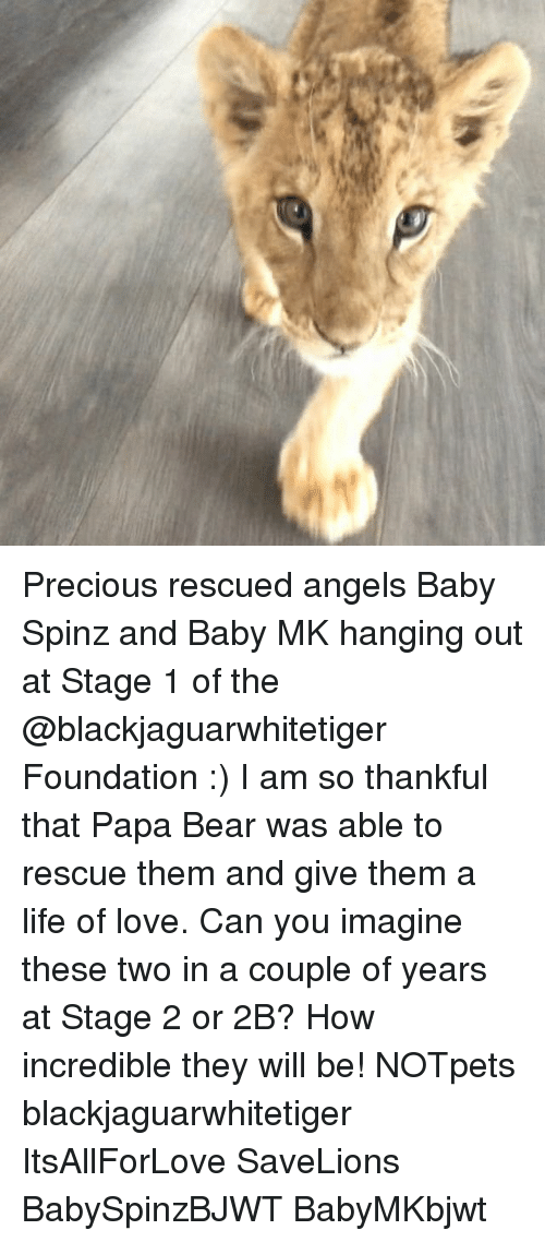 papa bear: Precious rescued angels Baby Spinz and Baby MK hanging out at Stage 1 of the @blackjaguarwhitetiger Foundation :) I am so thankful that Papa Bear was able to rescue them and give them a life of love. Can you imagine these two in a couple of years at Stage 2 or 2B? How incredible they will be! NOTpets blackjaguarwhitetiger ItsAllForLove SaveLions BabySpinzBJWT BabyMKbjwt