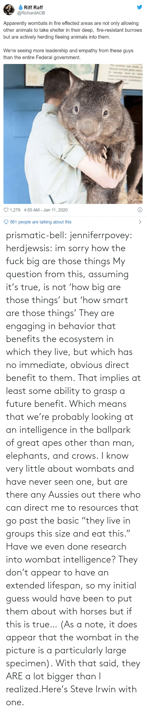 "basic: prismatic-bell:  jenniferrpovey: herdjewsis: im sorry how the fuck big are those things My question from this, assuming it's true, is not 'how big are those things' but 'how smart are those things' They are engaging in behavior that benefits the ecosystem in which they live, but which has no immediate, obvious direct benefit to them. That implies at least some ability to grasp a future benefit. Which means that we're probably looking at an intelligence in the ballpark of great apes other than man, elephants, and crows. I know very little about wombats and have never seen one, but are there any Aussies out there who can direct me to resources that go past the basic ""they live in groups this size and eat this."" Have we even done research into wombat intelligence? They don't appear to have an extended lifespan, so my initial guess would have been to put them about with horses but if this is true… (As a note, it does appear that the wombat in the picture is a particularly large specimen).  With that said, they ARE a lot bigger than I realized.Here's Steve Irwin with one."