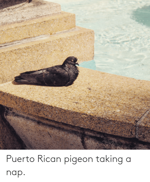 puerto rican: Puerto Rican pigeon taking a nap.