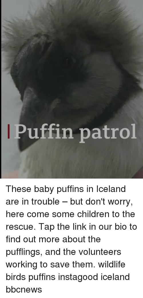 puffin: Puffin patrol These baby puffins in Iceland are in trouble – but don't worry, here come some children to the rescue. Tap the link in our bio to find out more about the pufflings, and the volunteers working to save them. wildlife birds puffins instagood iceland bbcnews