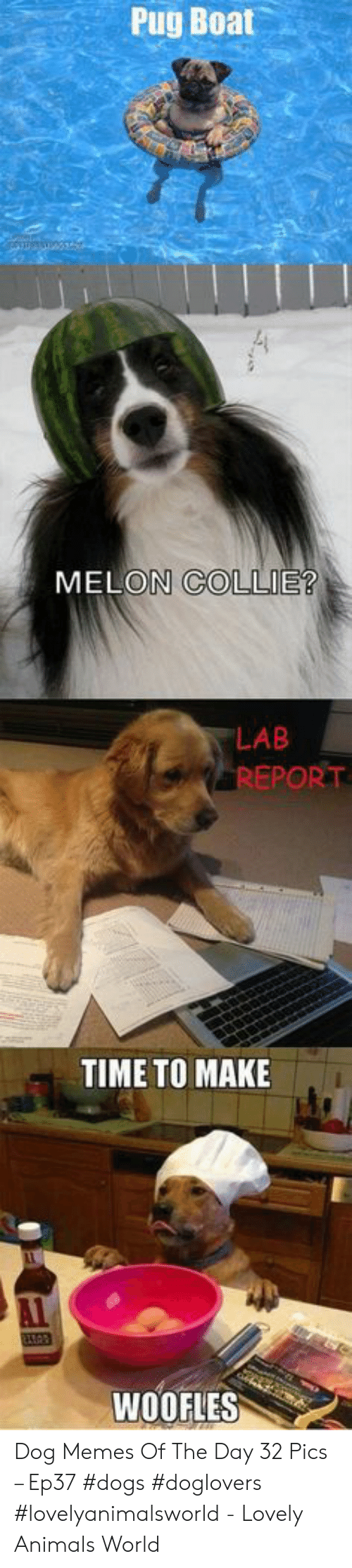 pug: Pug Boat  MELON COLLIE?  LAB  REPORT  TIME TO MAKE  WOOFLES Dog Memes Of The Day 32 Pics – Ep37 #dogs #doglovers #lovelyanimalsworld - Lovely Animals World