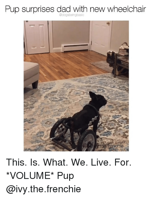 Frenchie: Pup surprises dad with new wheelchain  irenchie This. Is. What. We. Live. For. *VOLUME* Pup @ivy.the.frenchie
