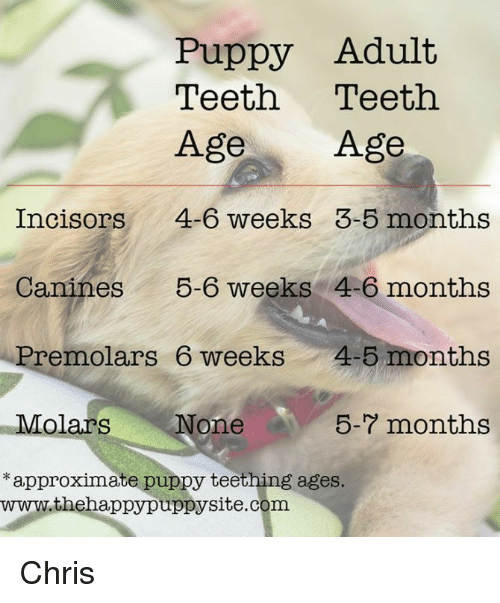 Memes, Puppy, and 🤖: Puppy Adult  Teeth Teeth  Age Age  Incisors 4-6 weeks 3-5 months  Canines 56 weeks 4-6 months  Premolars 6 weeks4-5 months  None5-7 months  approximate puppy teething ages.  www.thehappypuppysite.com Chris