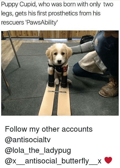 Cupid: Puppy Cupid, who was born with only two  legs, gets his first prosthetics from his  rescuers 'PawsAbility Follow my other accounts @antisocialtv @lola_the_ladypug @x__antisocial_butterfly__x ❤️