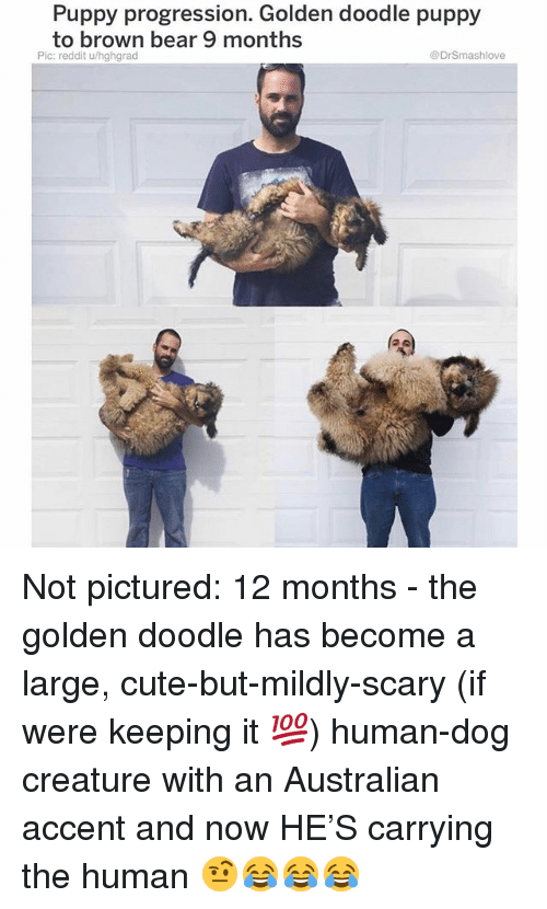 Cute, Memes, and Reddit: Puppy progression. Golden doodle puppy  to brown bear 9 months  Pic: reddit u/hghgrad  DrSmashlove Not pictured: 12 months - the golden doodle has become a large, cute-but-mildly-scary (if were keeping it 💯) human-dog creature with an Australian accent and now HE'S carrying the human 🤨😂😂😂