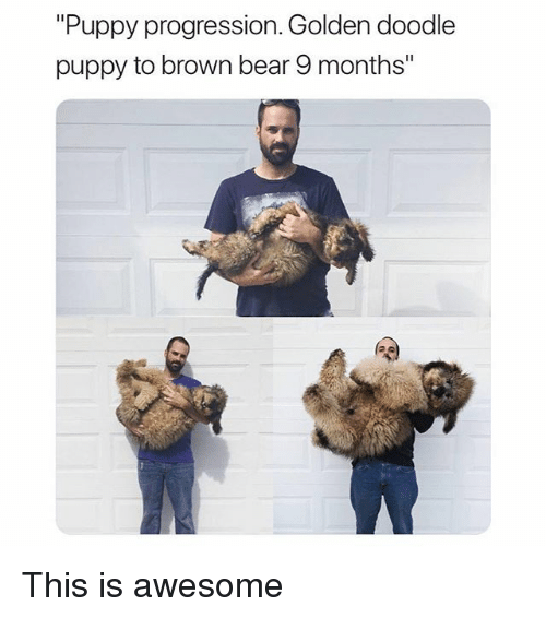 """Funny, Bear, and Doodle: """"Puppy progression. Golden doodle  puppy to brown bear 9 months"""" This is awesome"""