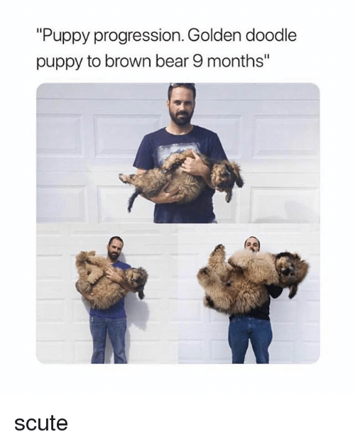 """Bear, Doodle, and Puppy: Puppy progression. Golden doodle  puppy to brown bear 9 months"""" scute"""