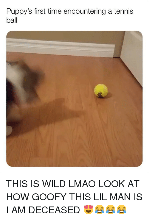 tennis ball: Puppy's first time encountering a tennis  ball THIS IS WILD LMAO LOOK AT HOW GOOFY THIS LIL MAN IS I AM DECEASED 😍😂😂😂