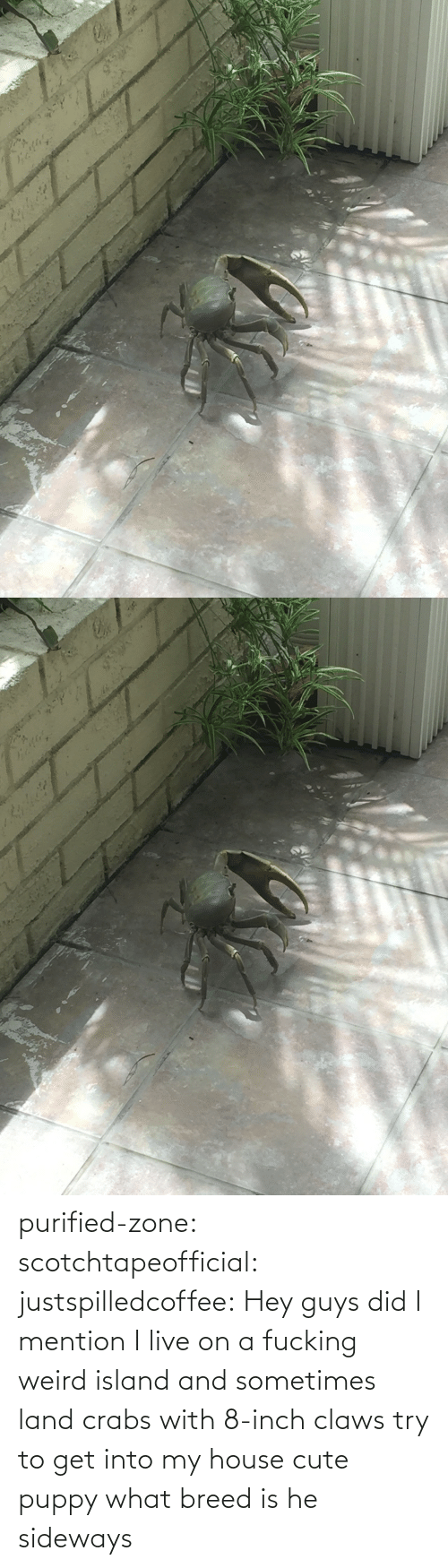 i live: purified-zone: scotchtapeofficial:  justspilledcoffee:  Hey guys did I mention I live on a fucking weird island and sometimes land crabs with 8-inch claws try to get into my house  cute puppy what breed is he  sideways