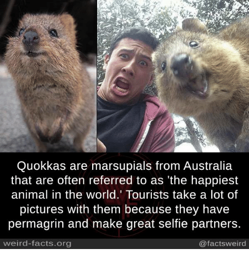 Quokkas Are Marsupials From Australia That Are Often ...