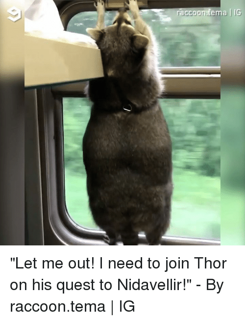 "Dank, Quest, and Raccoon: raccoonfema | IG ""Let me out! I need to join Thor on his quest to Nidavellir!"" - By raccoon.tema 