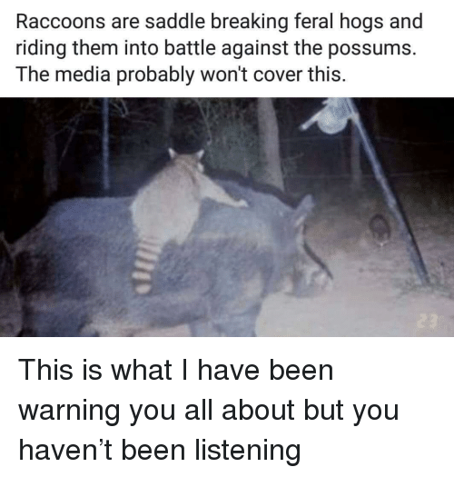 hogs: Raccoons are saddle breaking feral hogs and  riding them into battle against the possums.  The media probably won't cover this This is what I have been warning you all about but you haven't been listening