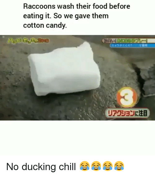 Candy, Chill, and Food: Raccoons Wwash their food before  eating it. So we gave them  cotton candy.  リアクションに注目 No ducking chill 😂😂😂😂