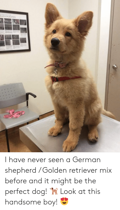 German Shepherd: RADLOGRAPH I have never seen a German shepherd / Golden retriever mix before and it might be the perfect dog! 🐕  Look at this handsome boy! 😍
